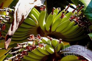 Featured Blooming Banana Tree 06 photograph by Dora Hathazi Mendes