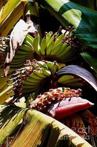 Featured Blooming Banana Tree 05 photograph by Dora Hathazi Mendes
