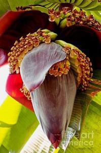 Featured Blooming Banana Tree 02 photograph by Dora Hathazi Mendes