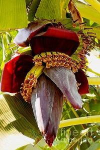 Featured Blooming Banana Tree 03 photograph by Dora Hathazi Mendes